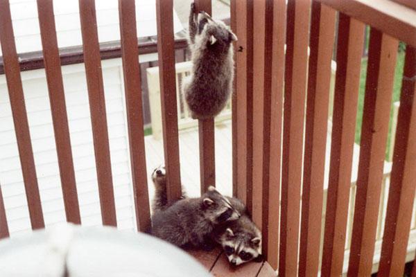 Raccoon kits take advantage of a second floor balcony to wait for mum's return.