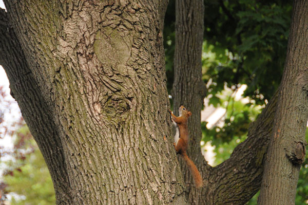 Up the tree! (Red Squirrel,