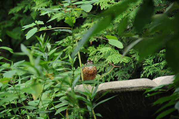 Is this young American Robin (Turdus migratorius) a sitting duck?