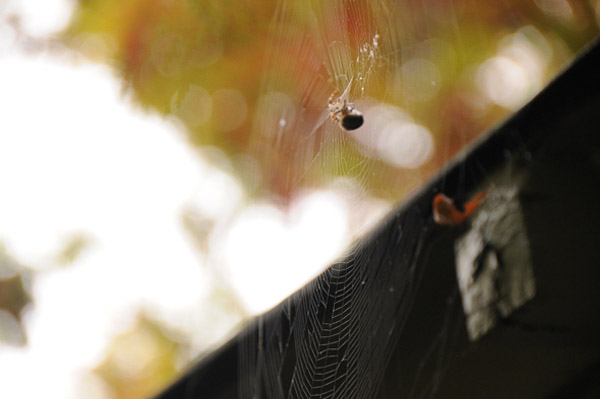 A real spider and web in the garden - much smaller than Hallowe'en renderings and definitely not as fearsome.