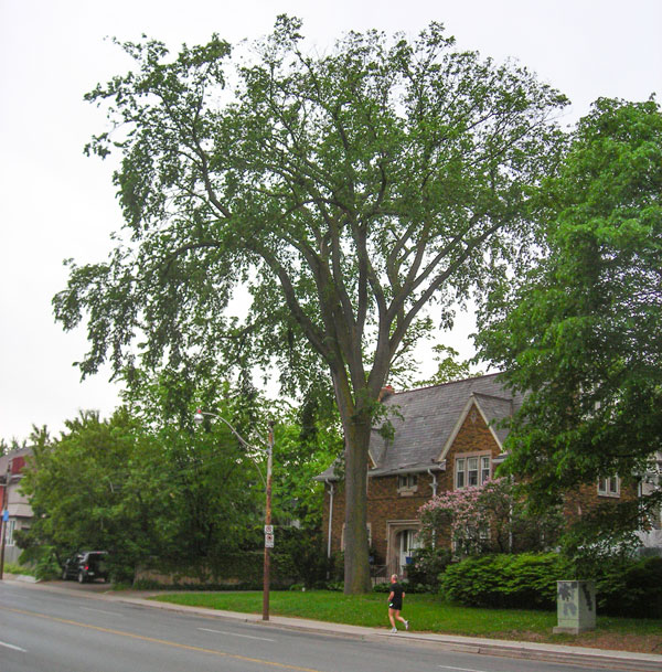 The stately white elm in a tranquil setting before the devastation