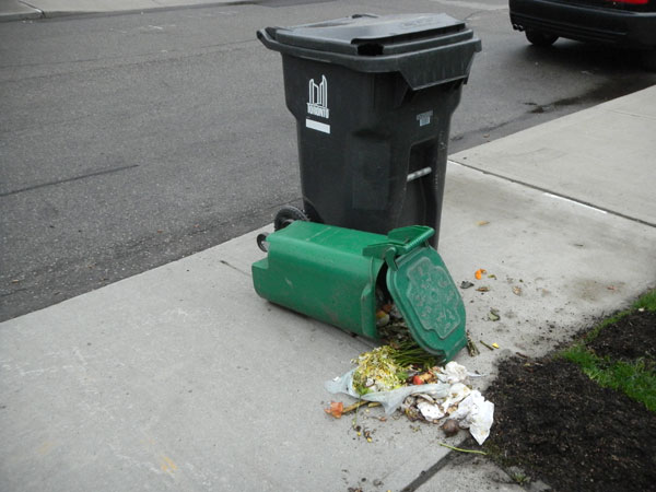 All in a night's work. Another successful hit on a green bin by a raccoon.