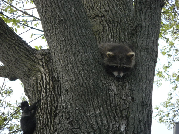 Raccoon kit separated from mother is trying to sleep during the rush hour for squirrels.