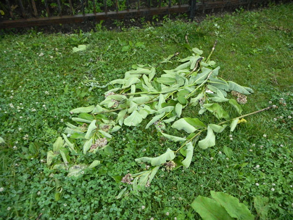 Precious milkweed ripped out of the ground. Tragic!