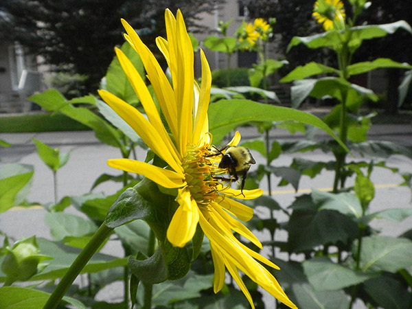 Tall boulevard plants like this sunflower attract bees.