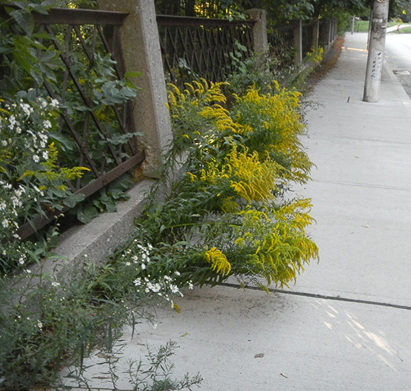 Just reaching for the sun. Overhanging wildflowers, especially goldenrod are not scary.