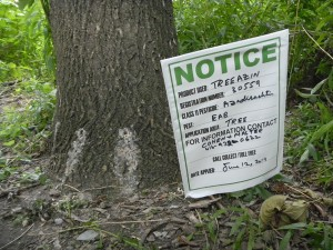 Giving notice to the invasive beetle, Emerald Ash Borer - DIE!