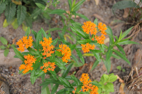 Butterfly milkweed (<em>Asclepias tuberosa</em>) growing slowly in partial shade and very dry conditions beside a moisture-sucking Norway maple in decline.