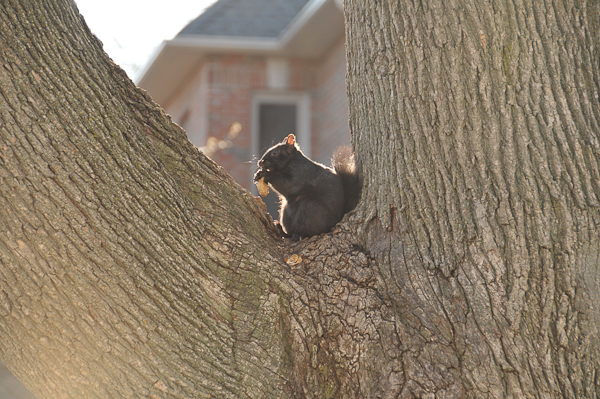 Melanistic eastern gray squirrel (Sciurus carolinensis) feeding on a handout.