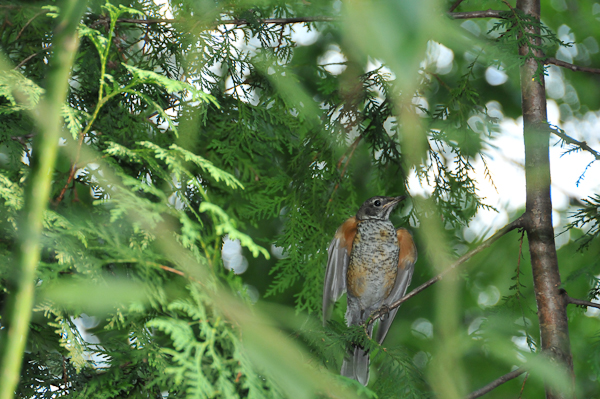 Juvenile American Robin (<em>Turdus migratorius</em>). Widely-spaced foliage of the wild type cedar allows easy access to perches for even large birds. Longer branches provide good perching posts.