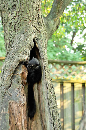 Young gray squirrel crawls out of a cavity in an old pear tree.