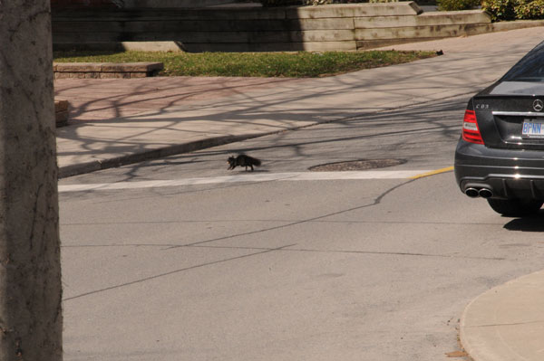 This squirrel is taking its life in your hands – will you stop at the stop sign or just blow through?