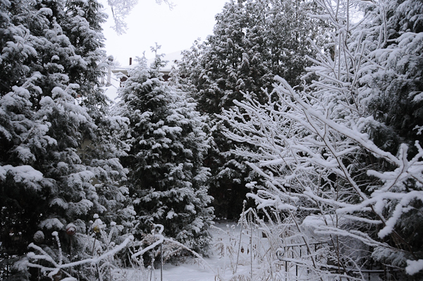 My winter soul exposed - northern white cedar ( encompasses the back garden.