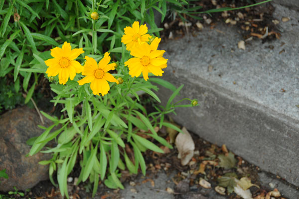 This specimen of Coreopsis sp. stays small in a compromised spot.