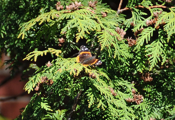 Red Admiral butterfly(<em>Vanessa atalanta</em>) takes advantage of cedar foliage that provides protection from frost during the migration in April.