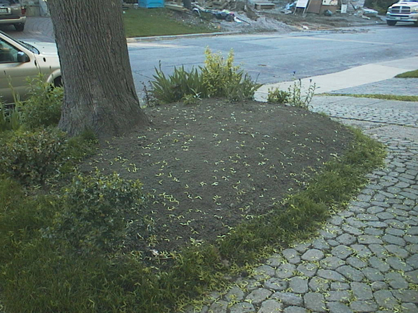 Lawn be gone! Hello sandy, meadow soil! A rim of lawn was kept to hold the soil until new plantings could spread.