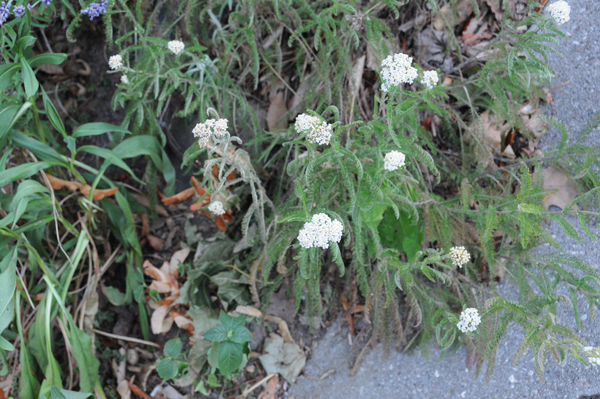 Common yarrow (Achillea millefolium) before it started to disappear. It's still barely hanging in.