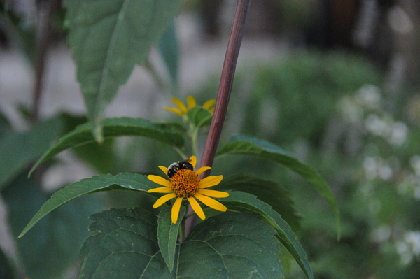 Bumble bee feasting on smooth oxeye.