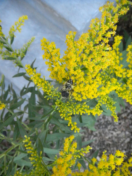 Wind-borne pollen? Not on your life! This bee is helping to spread goldenrod love.