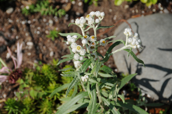 Pearly everlasting (Anaphalis margaritacea) didn't have a chance.