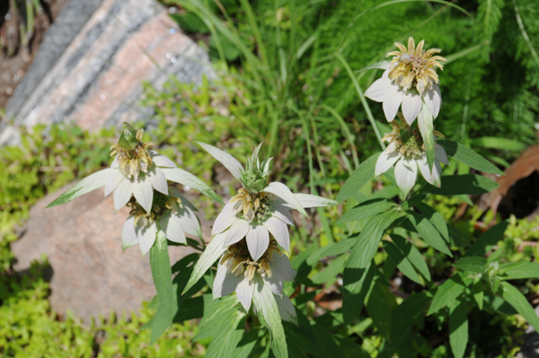 Spotted beebalm or horsemint (Monarda punctata) was crowded out.