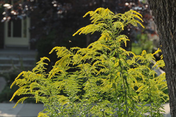 There's gold in them thar fields! Goldenrod as a symbol of prosperity (in the ecological sense).