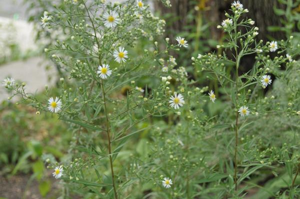 Panicled Aster (Symphyotrichum lanceolatum).