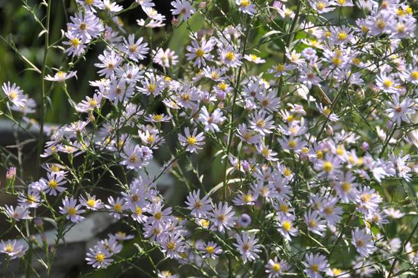 Sky Blue Aster (Symphyotrichum oolentangiense).