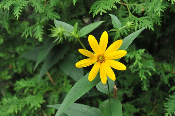 The sunny disposition of the woodland sunflower (Helianthus divaricatus).
