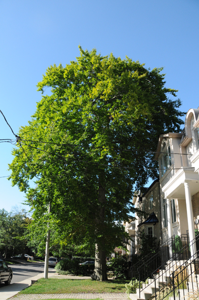 Neighbouring tree. A beautiful specimen of American beech – the best tree and envy of the neighbourhood, or at least of me.