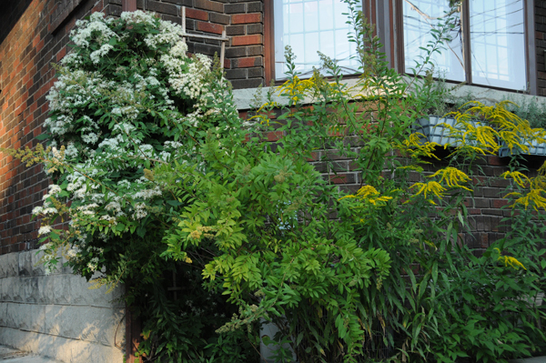 The native clematis, Virgin's bower (<em>Clematis virginiana</em>) favours a hot head and cool feet. In the front yard, afternoon sun streams through the sparse canopy but is tempered by the shading effect of meadowsweet (<em>Spirea alba</em>) and goldenrod (<em>Solidago</em> sp.).