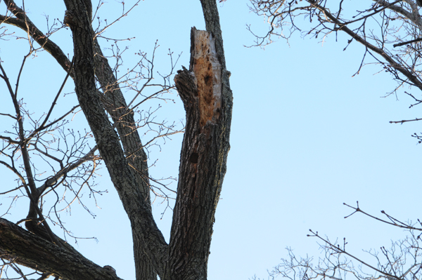Origin of broken branch. Branch weakened by carpenter ant forays.