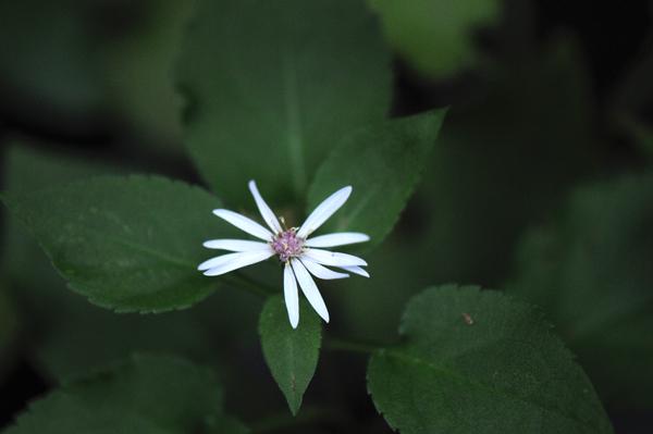 Success! A flowering arrowleaf aster (Symphotrichum urophyllum).