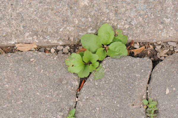 Mystery plant in cracks between driveway stones. Similar to Robin's plantain (Erigeron pulchellus), one of the fleabanes, but without being as fuzzy-leafed.