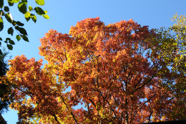"""White oak tree (Quercus alba) with canopy aflame in fall. I hope this tree doesn't get """"burned""""."""