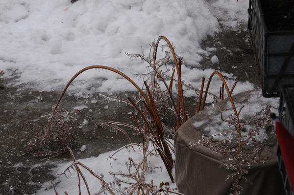 Meadowsweet shrub (Spiraea alba) is usually an upright citizen in the garden.